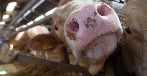 URTEIL DES VERWALTUNGSGERICHTS MÜNSTER Jedem Rind steht ein Liegeplatz zu