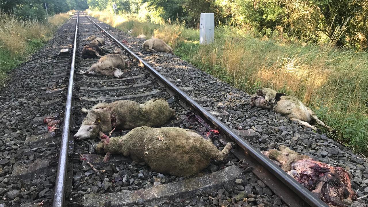 Regiobahn überfährt 21 Lämmchen und Muttertiere