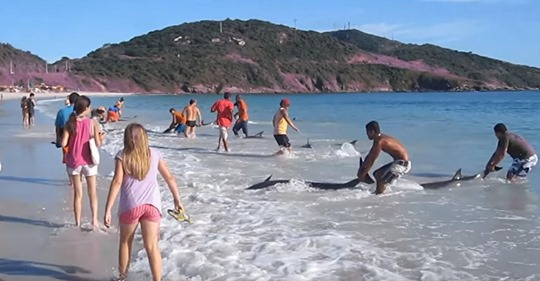 Tieraktivisten drängen die Menschen, damit aufzuhören, gestrandete Delphine wieder ins Wasser zu werf