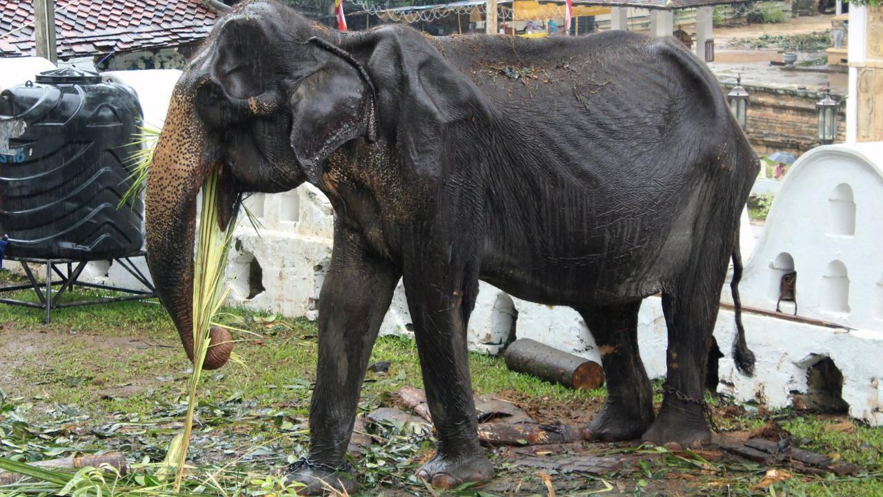 So leiden Elefanten für  buddhistisches Spektakel