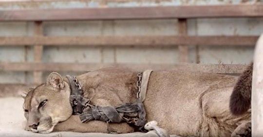 Löwe, der jahrelang in Gefangenschaft lebte, um im Zirkus aufzutreten, reagierte atemberaubend auf seine Befreiung