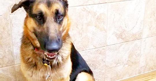 Deutscher Schäferhund  Gestresst  als er nach der Geburt des Kindes im Tierheim zurückgelassen wurde