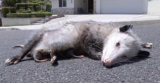 Unglaubliche Tierrettung: Opossum Babys überleben unter toter Mutter