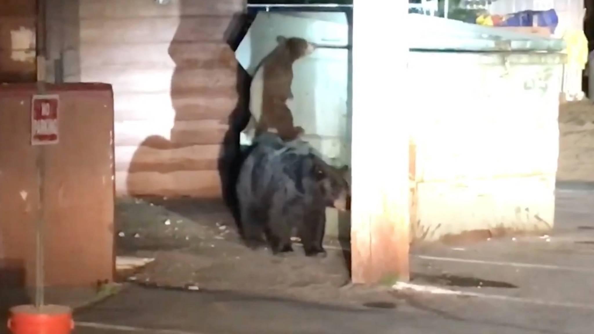 Junger Bär fällt in Müllcontainer – sein Geschwisterchen versucht, ihn zu retten