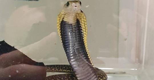 Fluggast mit Koffer voller Giftschlangen ertappt