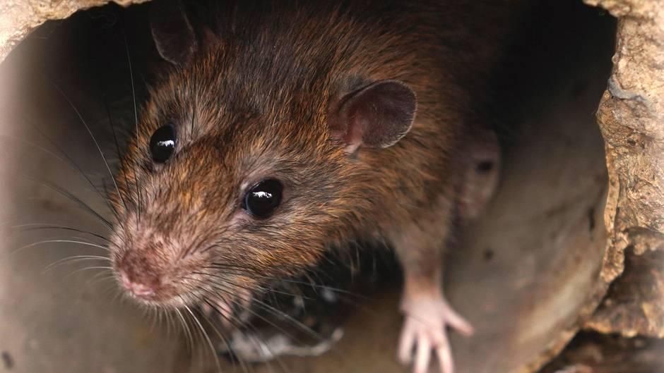 Nach Parasit Fund auf Mallorca: Wie gefährlich ist der Rattenlungenwurm?