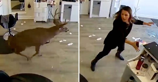 Kommt ein Hirsch in New York zum Friseur ...