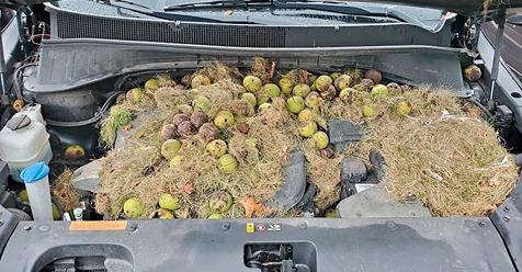 Kurios: Auto springt schlecht an   200 Walnüsse unter Motorhaube