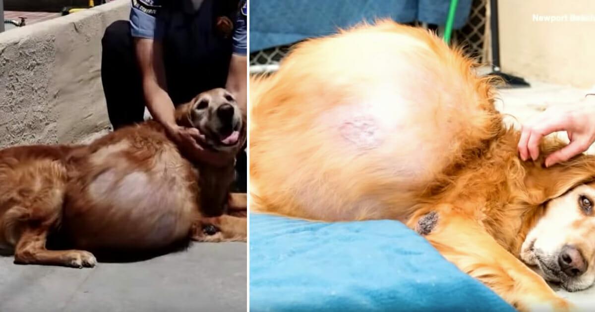 Hund Henry hat 20 Kilogramm schweren Tumor am Bauch & wird auf der Straße ausgesetzt