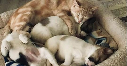 Katze Kathryn adoptiert Welpen, deren Hundemama gestorben ist