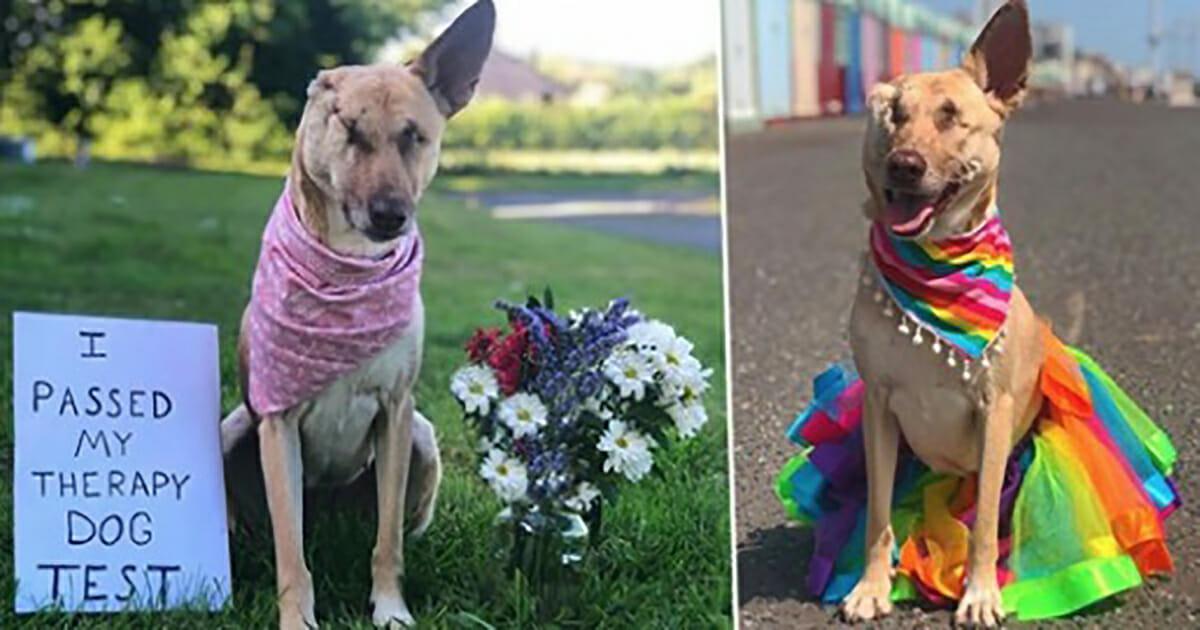 Schwangere Hündin, die 17 Mal angeschossen und das Ohr abgeschnitten wurde, darf Therapiehund werden