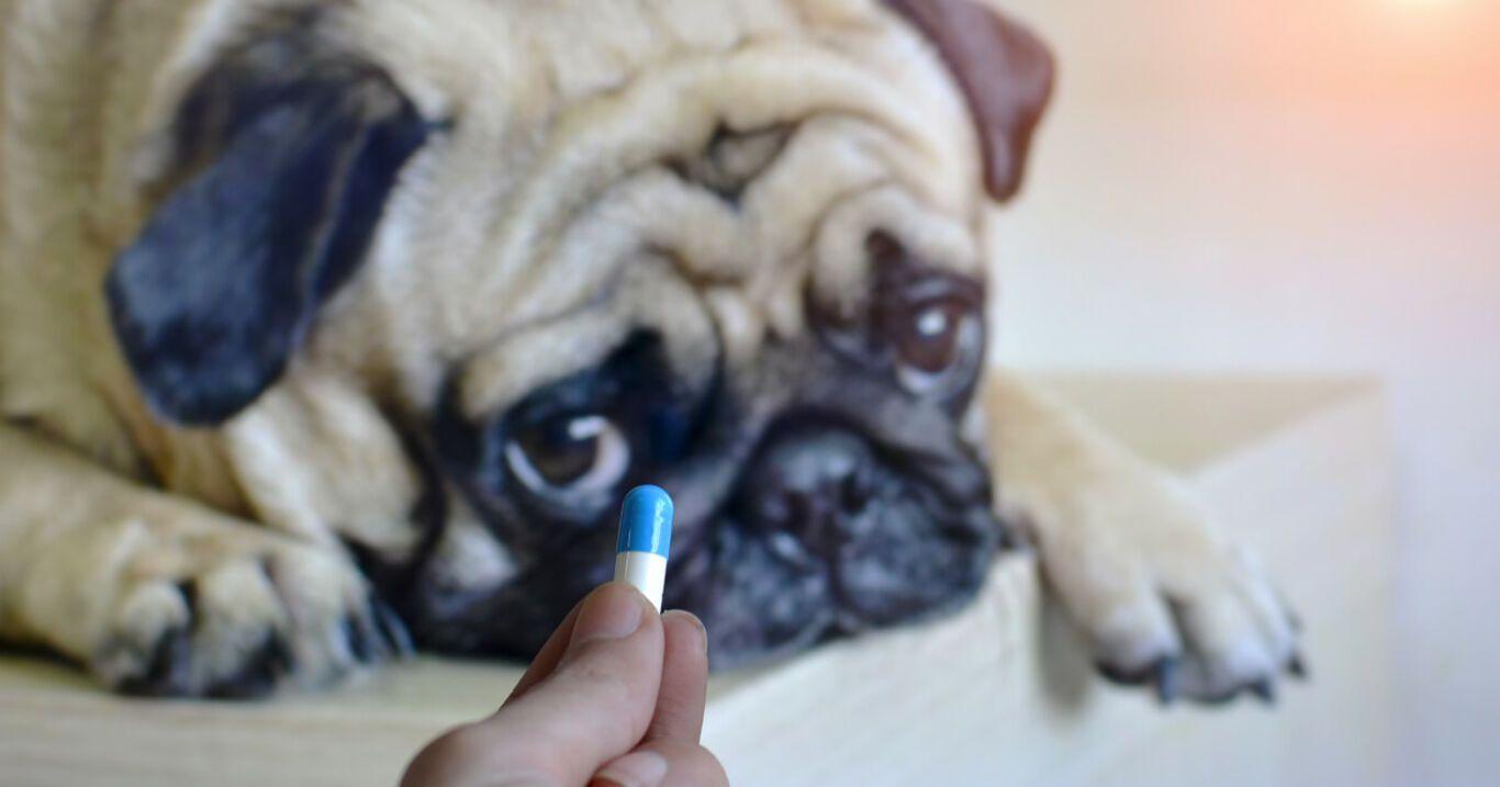 Dem Hund wegen Schmerzen Paracetamol geben? Bloß nicht!
