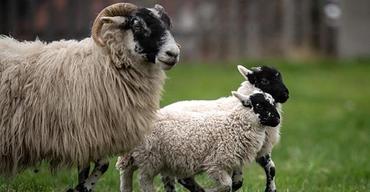 Ich stehe zu allem: Schweizer Bauer vergeht sich jahrelang sexuell an seinen Tieren