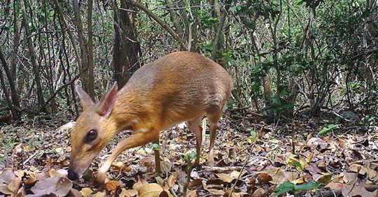 Ausgestorben geglaubter Maushirsch nach Jahrzehnten wiederentdeckt