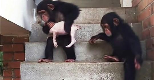 Sterbender Welpe wird von liebevollen Schimpansen zurück ins Leben gebracht