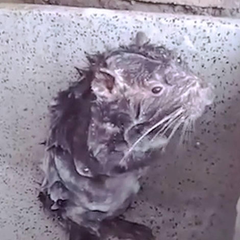 Eine duschende Ratte zeigt, wie einfach Videos manipuliert werden können