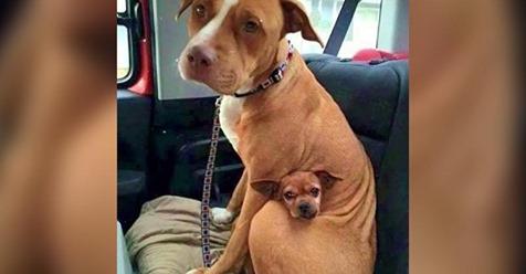 Pit Bull will Tierheim nicht ohne seinen kleinen Freund verlassen
