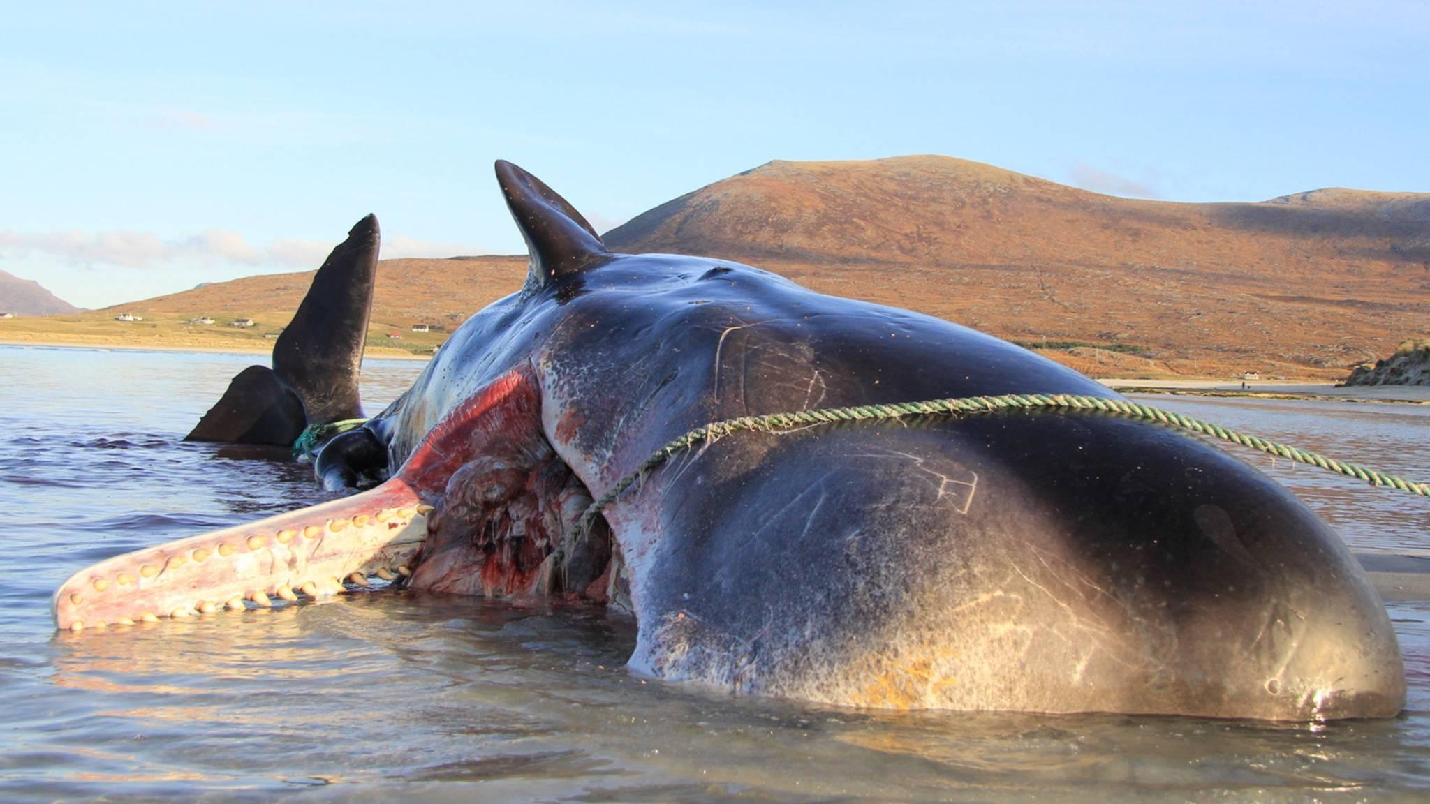 Die Gedärme schossen raus: Gestrandeter Wal explodiert in Schottland während Untersuchung