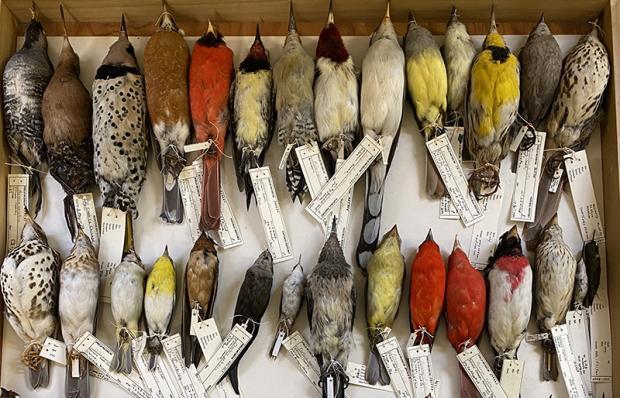 Warum Zugvögel schrumpfen