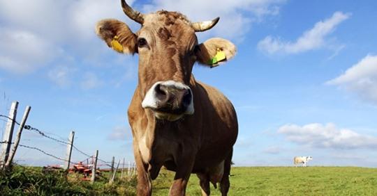 Polizei erlegte ausgebüxte Kuh in Bayern