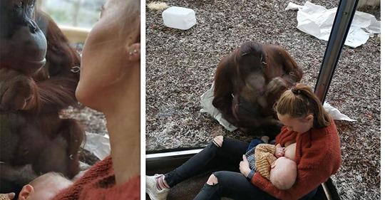Rührender Anblick im Zoo:Orang Utan Dame beschützt stillende Mutter