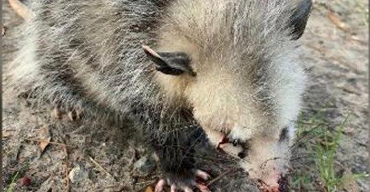Golfer verprügeln Baby  Opossum, bis es erblindet