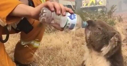 TIERSCHÜTZER WARNEN VOR WASSER AUS FLASCHEN Gut meinende Helfer ertränken Koalas