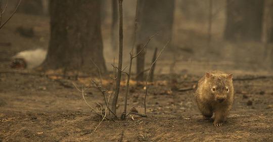 So retten Wombats andere Tiere vor den Buschbränden in Australien
