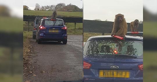 Familie filmt schadenfroh,wie Pavian Auto zerlegt,doch nicht alle finden das lustig