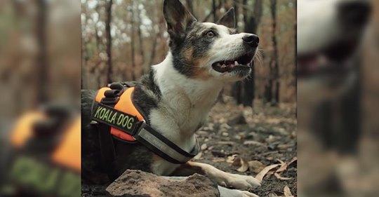 Spürhund Smudge rettet hilflose Koalas in den vom Feuer gezeichneten Wäldern
