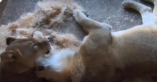 Unzertrennliches' Löwenpaar im Zoo von Chicago stirbt nur ein paar Tage auseinander.