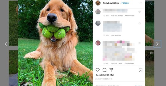 Golden Retriever Finley ist besessen von Tennisbällen – und stellte nun einen Weltrekord auf