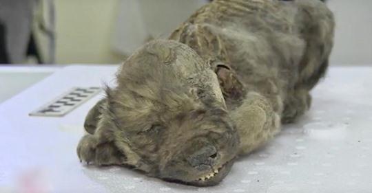 Hier ist Dogor, der 18.000 Jahre alte prähistorische Welpe, der von Forschen unter sibirischen Eis gefunden wurden