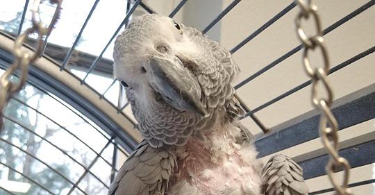 DÜSSELDORFER TIERHEIM WILL SIE VERKUPPELN Kranke Papageiendame sucht einen Mann