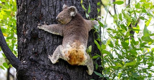 Australien: Koalabärin mit verbrannten Armen darf zurück in die Wildnis