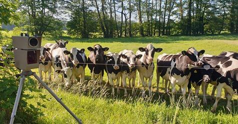 Blitzlicht lockt neugierige Kühe an