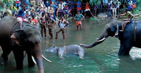 Mit Böllern befüllt: Schwangere Elefantenkuh stirbt nach Fütterung mit explosiver Ananas