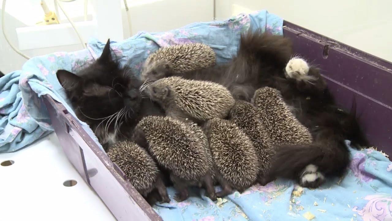 Katze adoptiert 8 verwaiste Igel Babys, nachdem ihre Mutter bei einem Unfall mit Rasenmäher gestorben ist