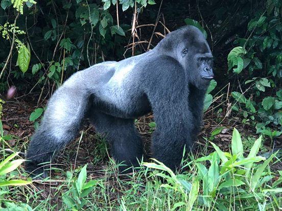 Ein Meter achtzig großer Gorilla überrascht Zoowärter und sorgt für seltenes Videomaterial