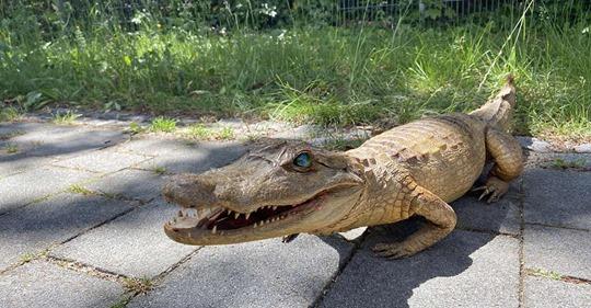 Ungewöhnlicher Fund: Alligator wird aus der Isar gefischt