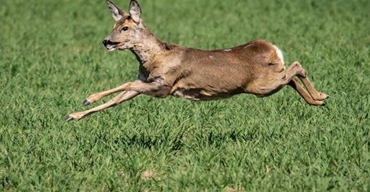 'Die Schreie gingen einem durch Mark und Bein' – Hunde reißen Rehgeiß in Traunreut