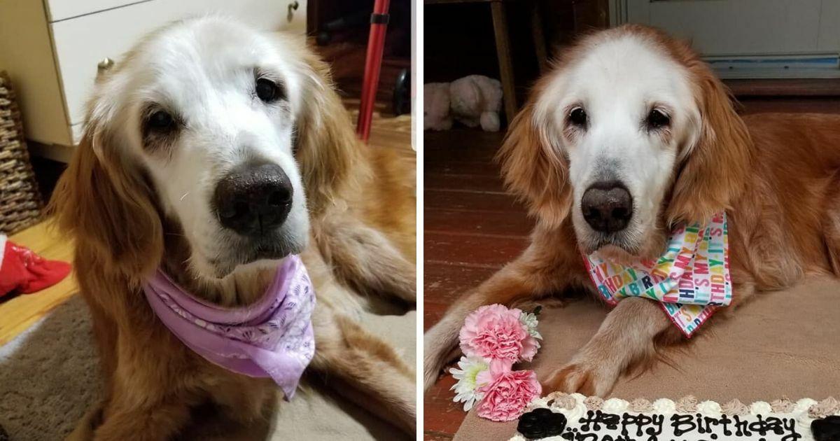 Der älteste Golden Retriever der Geschichte ist 20 Jahre alt: der Hund, der 'Augie' heißt