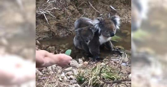 Teenager bietet Koala-Baby ein Blatt an und Baby krabbelt direkt vom Rücken der Mutter auf seinen Arm