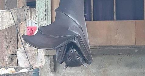 """1,70 Meter Spannweite: Foto von """"menschengroßer Fledermaus"""" sorgt im Netz für Furore"""
