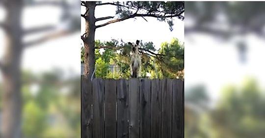 Deutsche Dogge entdeckt Trampolin beim Nachbarn und muss es gleich einmal testen