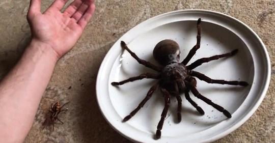 Goliath-Vogelspinnen wachsen auf die Größe eines Esstellers