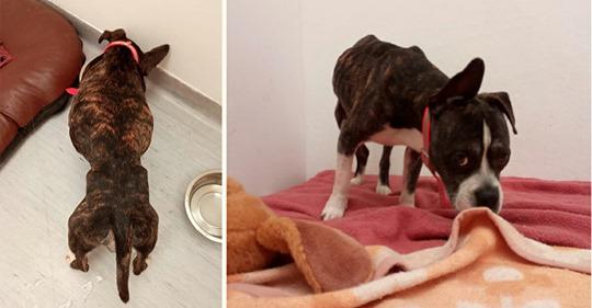 """Nur noch Haut und Knochen: Gewissenlose Herrchen lassen Hund """"Aaron"""" zum Verhungern in Wohnung zurück"""