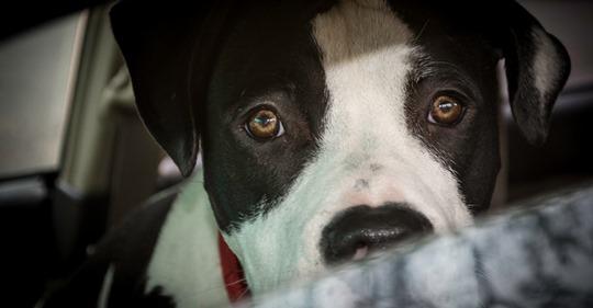 Besitzerin geht shoppen: Hund stirbt qualvoll im Hitze-Auto