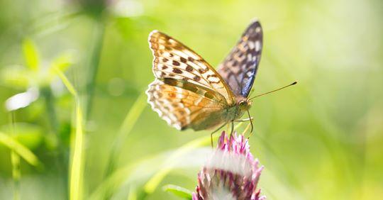 Schmetterlinge – darum brauchen sie unsere Hilfe