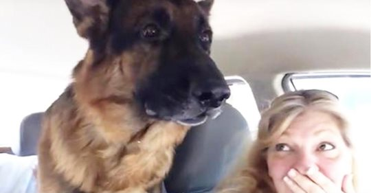 Deutscher Schäferhund dreht durch, als er merkt, dass er beim Tierarzt ist